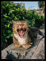 20170404-170901-GM5 (YKevin1979) Tags: cat 貓 lumix gm5 dmcgm5 mft microfourthird 15mm f17 leica15mmf17 leicadgsummilux15mmf17asph summilux leica
