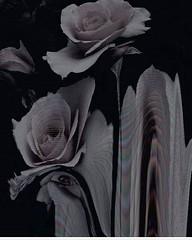 """#D4rkR0se 3 Likes, 1 Comments - *•°D0m!π¡qu€ βα©α•°* (@that_shy_girl6) on Instagram: """"#spacer #roses #aesthetic"""" https://buff.ly/2srzaFj https://buff.ly/2srzfsB https://ift.tt/2sA7fTx (d4rkr0se) Tags: retweet rose roses d4rk r0se d4rkr0se d4rk3str0se d4rk3st"""