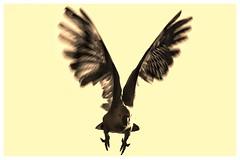Angry Bird (gro57074@bigpond.net.au) Tags: abstract sulphur sulphurandblack processed sulphurcrestedcockatoo d850 nikon cockatoo