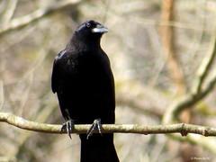 Raven. (~~Chuck's~~Photos~~) Tags: chucksphotos canonsx50 raven birds closeups outdoors trees naturephotos kentuckyphotos ourworldinphotosgroup earthwindandfiregroup explorekentucky photosthruyourlensgroup solidarityagainstcancergroup