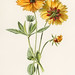 Coreopsis by Frederick Edward Hulme (1841-1909), a vintage chromolithograph of tickseed. Digitally enhanced from our own original plate.