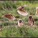 Burrowing Owl Athene cunicularia hypugea in flight  Los Lunas NM