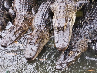 Alligators In Rain