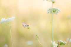 Dambordje (patrickbrouwer73) Tags: dambordje vlinder virionvallei nismes zonsopkomst licht ochtend