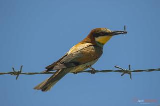Abelharuco | European Bee-eater | Abejaruco Europeo | Guêpier d'Europe | Gruccione | Merops apiaster