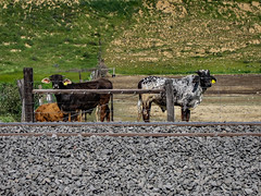 Odd Bookends (davidseibold) Tags: america animal benaroad california cattle farmanimal fence grass gravel jfflickr kerncounty nature photosbydavid plant postedonflickr postedong railroadtrack unitedstates usa