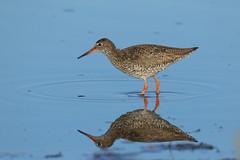redshank (simonrowlands) Tags: redshank wader tringa totanus coastal marshes machire wet meadows ponds coasts