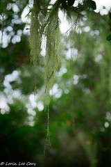 Green (lorinleecary) Tags: bokeh green lososos losososoaksstatenaturalreserve lichen sigma60mm