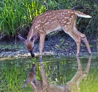Fawn with Reflection