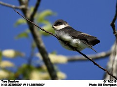 Tree Swallow (Bill.Thompson) Tags: treeswallow tachycinetabicolor ri birds