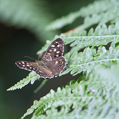 Speckled Wood (Pararge aegeria) - White Down Copse, Broadclyst, Exeter, Devon - July 2018 (Dis da fi we) Tags: speckled wood pararge aegeria white down copse broadclyst exeter devon green butterfly