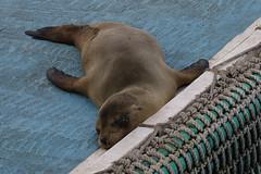 Galapagos Sea Lion - Zalophus wollebaeki - Isla Santa Cruz, Galapagos, Ecuador - July 2, 2018 (mango verde) Tags: galapagossealion zalophuswollebaeki otariidae earedseals zalophus wollebaeki seal sealion mammal puertoayora islasantacruz galapagos mangoverde ecuador