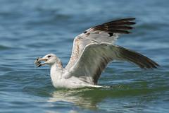 GULL (Alex Borbely) Tags: gull birdswithprey birds