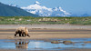 Grizzly Clam Hunt (OJeffrey Photography) Tags: grizzlybear alaskanbrownbear bear brown katmainationalparkandpreserve katmainationalpark katmai aleutianmountainrange aleutian mountains snow clamhunting stream reflection panorama pano ak alaska ojeffreyphotography ojeffrey jeffowens nikon d500 hunting