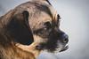 My Puggle, Bandit (JBirdPerched) Tags: beagle dog pug puggle