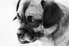 My Little Girl (JBirdPerched) Tags: adorable dog pug blackandwhite beagle look cute puggle