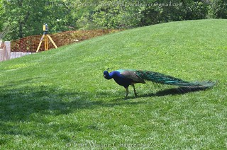blauwe pauw - Pavo cristatus - Indian Peafowl
