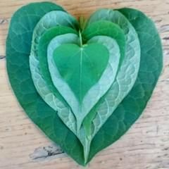 Heart shape leaves! (Echeveria62) Tags: heartshape macromondays250618 macromondays linesymmetry macro 7dwf270618