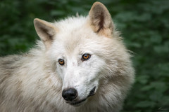 Arctic Wolf (Mariannevanderwesten) Tags: wolf poolwolf arcticwolf nikon nature natuur germany duitsland ngc