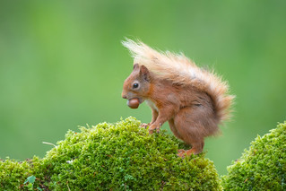Squirrel Nutkins- Red Squirrel with Acorn
