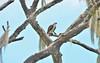 O2K_9606 (68photobug) Tags: 68photobug nikon d7000 sigmadg 150500mm usa centralflorida polkcounty lakeland preserve refuge sanctuary nature circlebbar bird osprey fish limpkin littleblueheron marshrabbitrun