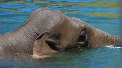 Elephant Swim (Scott 97006) Tags: elephant zoo animal swim cute
