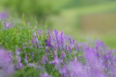 """Splendour in the grass"" (Baubec Izzet) Tags: baubecizzet pentax bokeh flower nature spring"