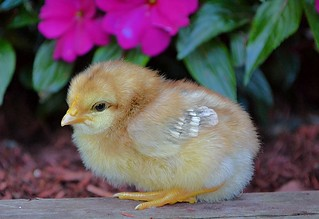 A Little Chick In The Garden
