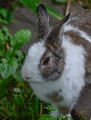 Rabbit and Korea (Robert-Ang) Tags: gyenampark seoul southkorea animalplanet