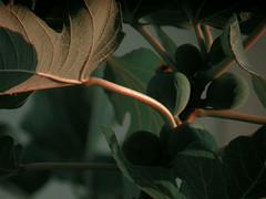 Mediterrean plant II (dileo.olivia) Tags: fotografia foto film filter art artistic artist armony arte pale nature paleart conceptual contrast color ficus fico photography shadow light