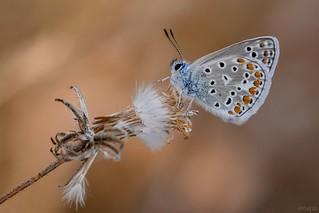 Mariposa azul común (Polyommatus icarus) / common blue butterfly