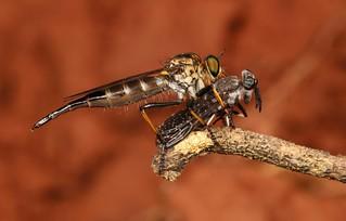 Robber Fly (Asilidae) with Horse Fly (Haematopota sp., Tabanidae) Prey