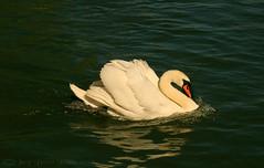Swan heaven on the Avon (Jay Bees Pics) Tags: swan wildlife cygnus waterfowl river avon stratforduponavon warwickshire england summer 2018 coth ngc coth5 npc