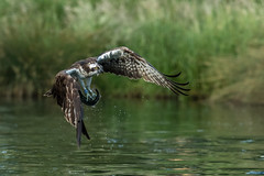 Osprey (Pandion haliaetus) (Steven Whitehead) Tags: osprey birds birdofprey feeding feathers canon canon1dx canon1dxmk2 300mm 300mmf28 wildlife wild wildbird lake water pond 2018 fishing fish rutland trout
