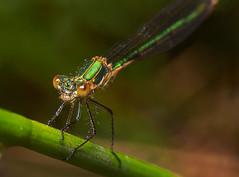 Emerald damsel fly (Alf Branch) Tags: insects insect invertibrate macro macrodreams macrosafari ngc closeup alfbranch olympus olympusomdem1 omd sigma sigma105f28