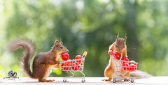 red squirrels with an shopping cart and tomatoes (Geert Weggen) Tags: agriculture animal backgrounds closeup colorimage crop cultivated cute dirt environment environmentalconservation environmentaldamage environmentalissues food freshness gardening global greenhouse growth harvesting healthyeating horizontal humor lifestyles mammal nature newlife nopeople organic outdoors photography planetspace planetearth plant pollution red rodent seed socialissues springtime squirrel summer tomato vegetable garden shoppingcart bispgården jämtland sweden geert weggen ragunda hardeko