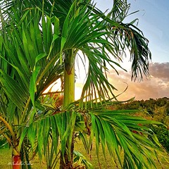 Thru the palmtree #Martinique #lefrancois #sun #sunset #bluesky #sunnysky #carribeancolours #carribeansunset #palmtree #light #nature #placetosee #travel #trip #Madinina #photography #Samsungphotography #SamsungGalaxyNote8 @samsungfrance (isabella.cabre) Tags: nature bluesky samsunggalaxynote8 sun palmtree madinina carribeansunset trip lefrancois light sunnysky sunset martinique placetosee travel photography carribeancolours samsungphotography