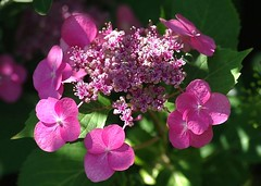 Hortensia étoilé (mamietherese1) Tags: macromademoiselle world100f