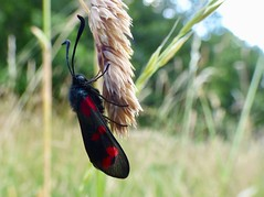 Burnet Moth (LouisaHocking) Tags: moth south wales nature wild wildlife insect minibeast burnet