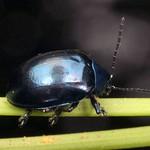 Leaf beetle, Chrysomelidae thumbnail