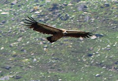 Gyps Himalayensis - Wesetern Himalayas ~2750m Alt (forest venkat) Tags: bird vulture hawk animal grass flight mountains hill hillocks himalayan griffon the iucn red list species gyps himalayensis wesetern himalayas ~2750m alt seen ~30 flying eye level or is an old world family accipitridae closely related