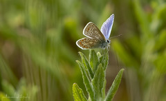 Common Blue (jonathancoombes) Tags: copper small common blue insect wildlife nature explore