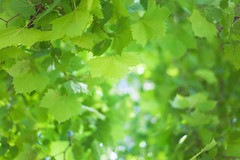 Green Summer Leafs (dejankrsmanovic) Tags: abstract plant tree leaf green color background pattern detail organic fresh day outdoor outside treetop flora fauna simple simplicity nature natural twig summer season seasonal growth forest wood shade