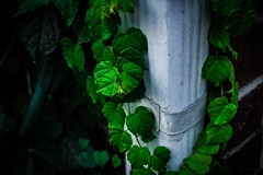 🌿 (katyearley) Tags: 55mm canonrebelt6 veins green up black white gutter leaves ivy vines