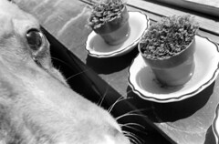 040271 10 (ndpa / s. lundeen, archivist) Tags: nick dewolf nickdewolf blackwhite monochrome blackandwhite 35mm film photographbynickdewolf bw 1971 1970s boston massachusetts beaconhill familyhome 3mtvernonsquare animal pet addy addie plants pots pottedplants windowsill whiskers may