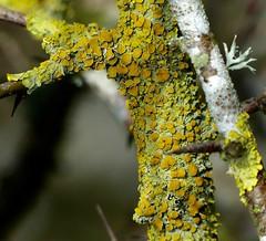 Looking at lichens ... (Edinburgh Nette ...) Tags: lichens trees twigs apothecia foliose crustose fruticose