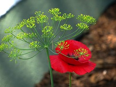Beschirmt (dorisgoebel) Tags: mohn poppy dill blume pflanze blüte blossom natur wildpflanzen