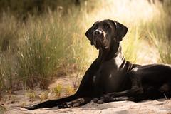 Bella! (florianpluecker) Tags: great dane deutsche dogge dog hund rassehund black schwarz bella canon 80d sigma ruegen insel strand beach hundefotografie