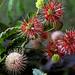 "Cincinnati – Spring Grove Cemetery & Arboretum ""Button Bush Flowers – In Transition"""