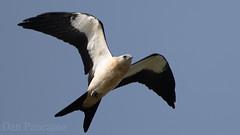 Swallow-tailed Kite (Dan Pancamo) Tags: 2018 bird birds canon14xiii canon500mmf4isii explorationgreen july nature texas houston unitedstates us
